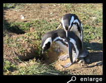 Magellanic penguins embracing
