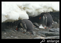 Drinking gentoo penguins