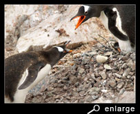 Offering stone among gentoo penguins