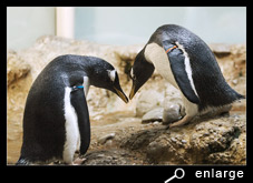Bowing of gentoo penguins