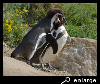 Humboldt penguins embracing each other