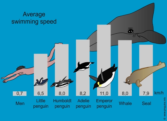 Average swimming speed