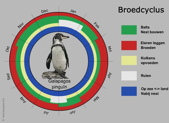 broedcyclus galapagospinguïn